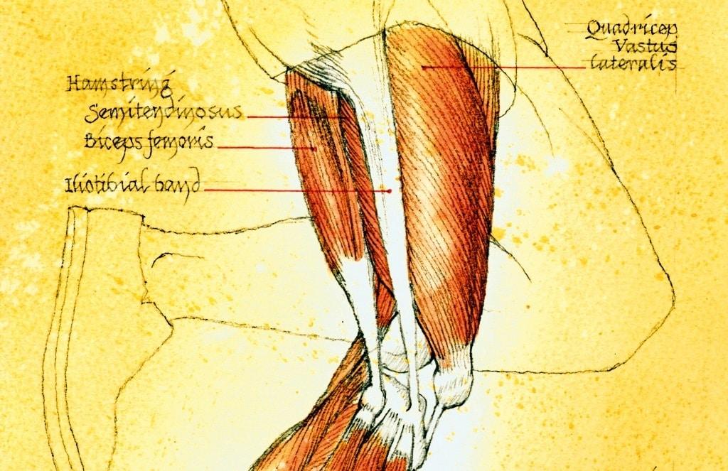 musculatura isquiotibial
